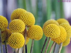 【例外.花笺记】金槌花,敲打在心间的小鼓槌!